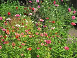 zinnias in tuin