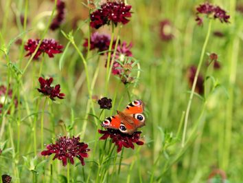 scabiosa met vlinder
